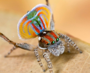 7 New Peacock Spider Species