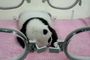 Baby 'Boom' June for Giant Pandas
