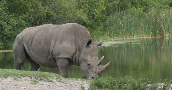 The Plight of the Last Male Northern White Rhino
